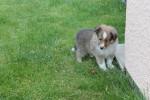 Lazare - Male Shetland Sheepdog (1 month)