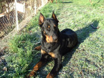 Turkan 14 mois - Beauceron (1 year and 2 months)