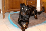 Nougat - Male Beauceron (1 year)