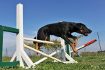 Beauceron picture