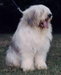 Chien de Berger Roumain de Mioritza - Romanian Mioritic Shepherd Dog