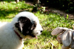 Romanian Mioritic Shepherd Dog picture