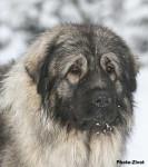 berger yougoslave sarplaninac - Yugoslav Shepherd