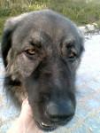 sarplaninac - Yugoslav Shepherd