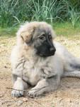 Erbaccia sarplaninac - Yugoslav Shepherd