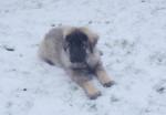 charplanina Eyko - Yugoslav Shepherd