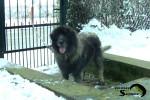 Rex FCI 4302 - Male Yugoslav Shepherd