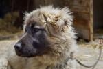 Yugoslav Shepherd picture
