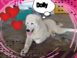montagne des pyrenees dolly - Great Pyrenees
