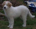 montagne des pyrenees FOREST 4 MOIS - Great Pyrenees (4 months)