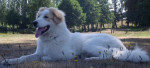 montagne des pyrenees FOREST 6 MOIS - Great Pyrenees (6 months)