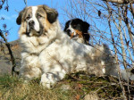 Echo 4 ans et Ginger 2 ans - Great Pyrenees (4 years)