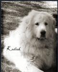 Kodiak - Male Great Pyrenees (3 years)