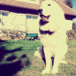TYSON - Male Great Pyrenees (2 years and 11 months)