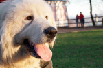 Great Pyrenees picture