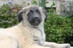 ESTRELA chiot de BRITISHBULLS CAO DISPO - Estrela Mountain Dog