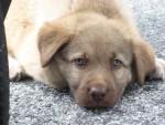 cao da serra d'éstrela - Estrela Mountain Dog