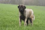 Estrela Mountain Dog picture