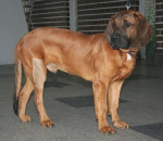 Male Hanover Hound picture