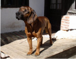 Hanover Hound picture