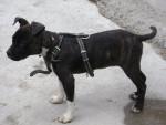 Pechan - Male American Staffordshire Terrier (1 year)