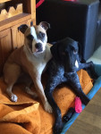 Iron et Kiera - American Staffordshire Terrier (3 years)