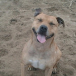 ???????? - Male American Staffordshire Terrier (10 years)
