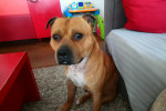 Malcom - American Staffordshire Terrier (3 years and 1 month)