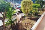 Amira - American Staffordshire Terrier (4 years)