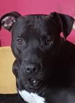 Zeus - Male American Staffordshire Terrier (11 months)