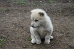 Greenland Dog picture