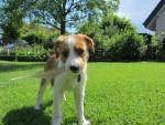 Lena - Kooiker Hound (4 months)