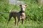 Peruvian Hairless Dog picture