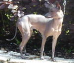 Chien Nu Mexicain - Mexican Hairless Dog