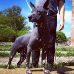 Lovecraft - Male Mexican Hairless Dog (1 year)