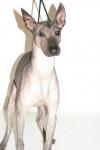 xoloitzcuintle Urielle - Mexican Hairless Dog