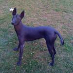 Xoloitzcuintle (Chien nu du Mexique) Dora - Mexican Hairless Dog