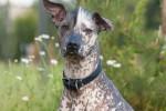 Xoloitzcuintli - Mexican Hairless Dog