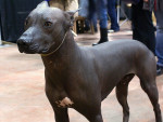 Le chien nu Mexique - Mexican Hairless Dog