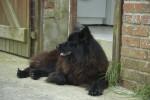 Ahkka - Swedish Lapphund (3 years)