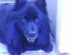 Vuori - Male Swedish Lapphund (9 years)