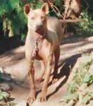 Thaï Ridgeback Dog - Thai Ridgeback