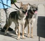 Enyéto Endiguélo d'Emozioni Breizh 11 mois - Saarloos Wolfdog (11 months)