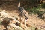 Enyéto Endiguélo d'Emozioni Breizh - Saarloos Wolfdog