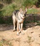 Loup de saarloos : Enyéto 11 mois - Saarloos Wolfdog (11 months)