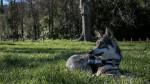 San - Saarloos Wolfdog (1 year)