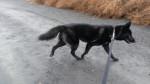 Ryker - Male Saarloos Wolfdog (1 year)