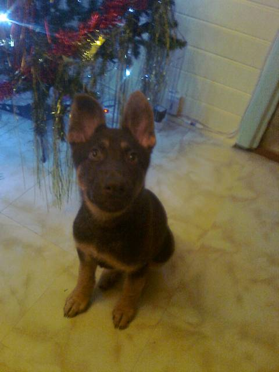 giovanie - Saarloos Wolfdog (1 year)
