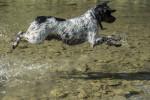Un Epagneul Breton saute dans une rivière