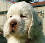 Rocko - Male Clumber Spaniel (2 months)